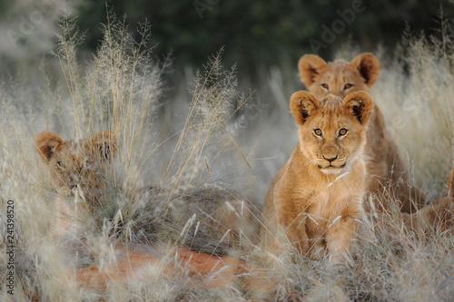 Leinwanddruck Bild Lion (Panthera leo) cubs. Kalahari, South Africa