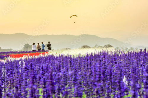 Field of beautiful lavender flower sunset at Chiang Rai in Thailand - 241401138