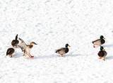 flying ducks on white snow background - 241419306