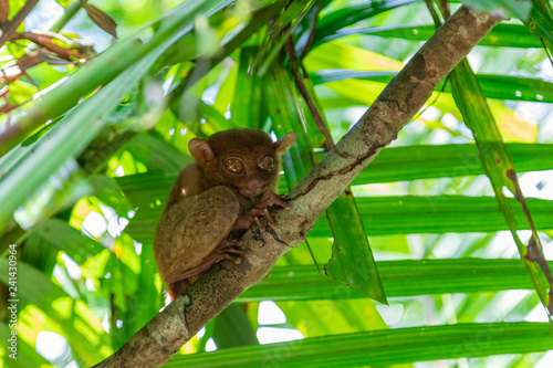 Tarsier (Tarsius Syrichta), the world's smallest primate in Bohol Tarsier sanctuary.  Cute Tarsius monkey with big eyes sitting on a branch with green leaves. Bohol island, Philippines.
