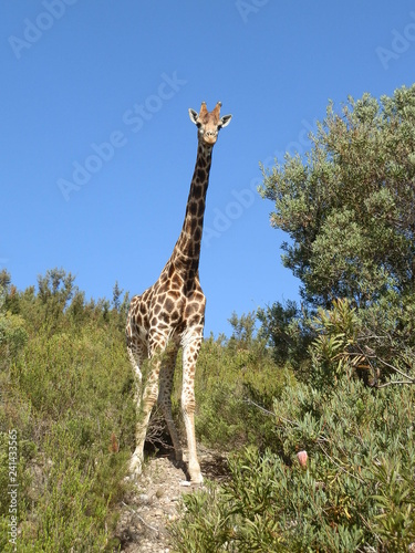 Beautiful big giraffe in Africa