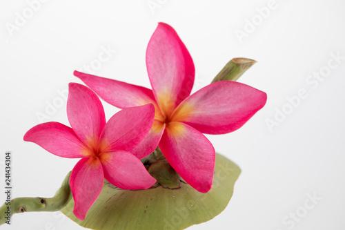 Frangipani flowers arrangment on coconut shell