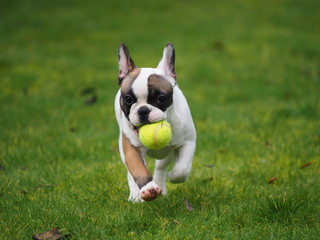 Young French bulldog with a ball