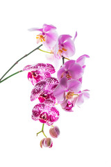 Orchid Flowers Isolated on White Background with Copy Space. Selective focus.