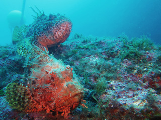 Scorpaenidae (also known as the scorpionfish) are a family of mostly marine fish that includes many of the world's most venomous species