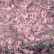Leinwanddruck Bild - Blühende Blutpflaume