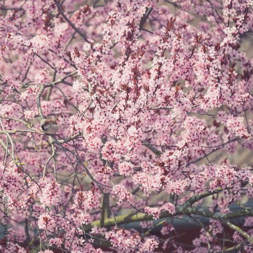 Leinwanddruck Bild Blühende Blutpflaume