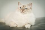 Fototapeta Koty - Portrait of beautiful sacred cat of burma © thodonal