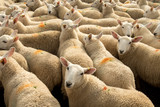 Flock Of Curious White Sheep With Cosy Wool In Scotland - 241479124