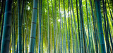 Fototapeta Bambus - Bamboo Groves, bamboo forest in Arashiyama, Kyoto Japan. © Andrea