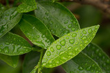 Rain on Leaves - 241490728