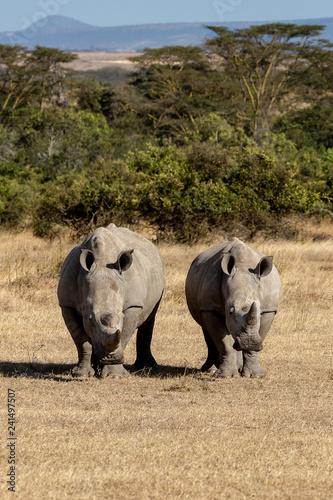 White rhinoceros, Kenya, Africa