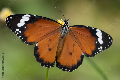 Plain tiger butterfly in Bali, Indonesia - 241500558