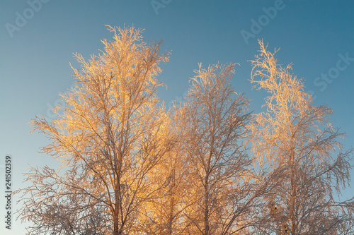 The upper part of the tree, covered with beautiful white frost, against the bright blue sky in the rays of the sunset . - 241502359