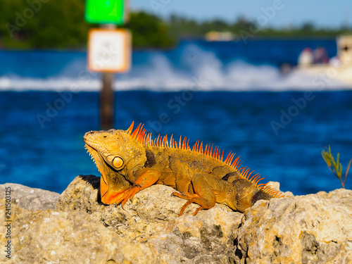 Key West Iguana watching Boats