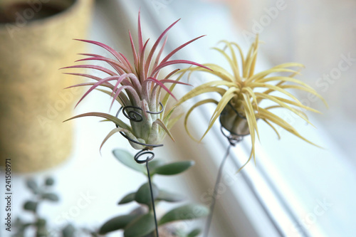 Foto Murales Air plant, Tillandsia ionantha, houseplant succulent no pot on windowsill. Tillandsias are low-maintenance plants that require no soil, just plenty of water, sunlight, and airflow.