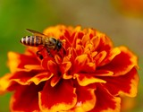 Beautiful hot orange color flower in full blossom with a bee