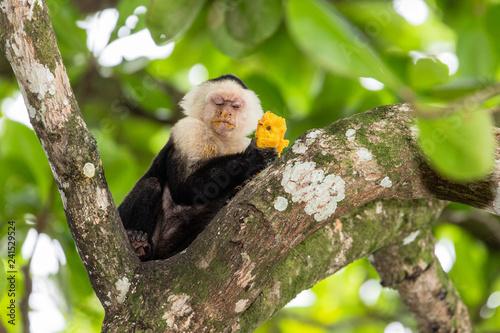 Singe capucin du Costa Rica
