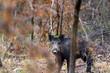 Sanglier - Sus scrofa - wild boar - 241540186