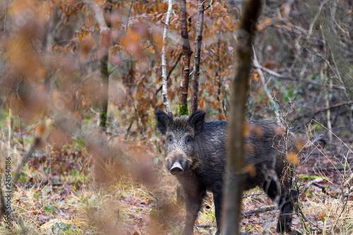Sanglier - Sus scrofa - wild boar