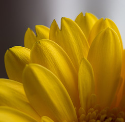 Yellow flowers showing stamen and petal cell structure © Philip
