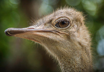 Close up of Ostrich head showing feathers and textures © Philip