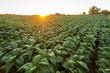Leinwanddruck Bild - Tobacco field, Tobacco big leaf crops growing in tobacco plantation field.