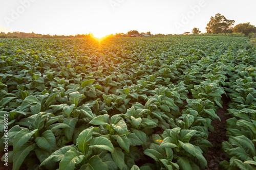 Leinwandbild Motiv Tobacco field, Tobacco big leaf crops growing in tobacco plantation field.