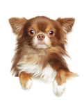 Close-up portrait of a Longhaired Chihuahua dog