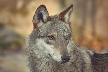 Portrait of wolf © Sergej Razvodovskij