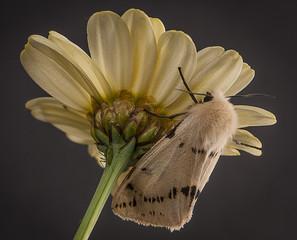 Large pastel coloured moth hiding on same coloured flower © Philip