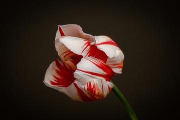 Tulip flower on black background © Philip