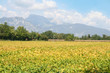 Green and yellow soybean field in the italian countryside. Soybean cultivation