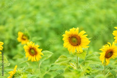 close-up view of sunflower fields green grass background.