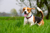 Dog Beagle running and jumping with tongue out through green grass field in a spring - 241589769