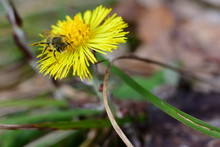 "Постер, картина, фотообои ""Insect on the yellow flower, Tussilago farfara, commonly known as coltsfoot. Macro photo."""