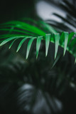 Deep dark green palm leaves pattern. Creative layout, toned image filter effect. Copy space - 241596152