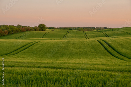 obraz lub plakat picturesque wavelike cornfield in summer