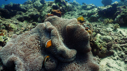 Clown anemonefish on coral reef, tropical fish. underwater world diving and snorkeling on coral reef. Hard and soft corals underwater landscape