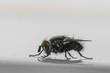 Esemplare di mosca domestica in primo piano
