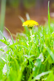 Single growing blooming Dandelion yellow flower in the grass meadow