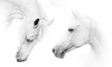 Fototapeta Konie - Two beautiful white horses © Mari_art