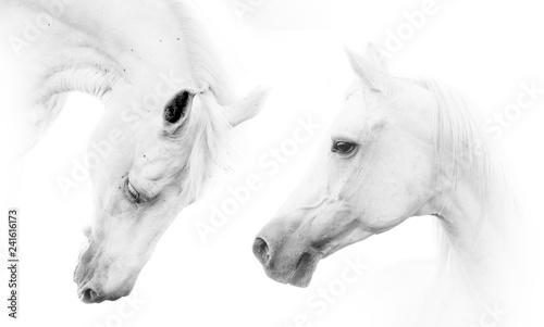 Two beautiful white horses