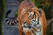 Tiger malay