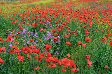 Field with red blooming poppies on a spring day