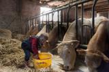 Des enfants donnent à manger à des vaches dans une vieille ferme - 241635596