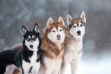 three husky dogs portrait on forest background - 241644732