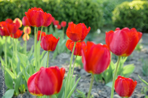 red tulips flowers - Tulipa X Hybrida hort. Oxford