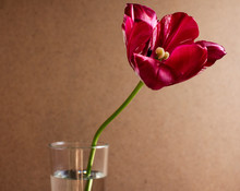 """Постер, картина, фотообои """"Red blooming tulip. Tulip flower in a glass with clear water"""""""