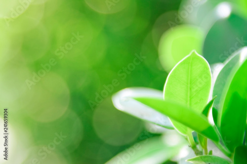 Closeup nature green background/texture leaf blurred and natural plants branch in garden at summer under sunlight concept design wallpaper view with copy space add text. - 241659304